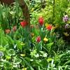チューリップが咲きだして春爛漫今朝の我が家の庭