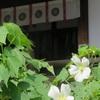 帯解寺のフヨウ(9月上旬~9月下旬)