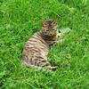 キジトラ猫と猫の起源