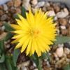 多肉植物の花11