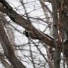 シマエナガいるかな?冬の野幌森林公園