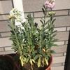 2つの花が咲きました^ ^