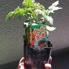 【初心者にオススメ!】ベランダでプチトマト栽培中。エカキムシの被害もあったけど順調に育ってます。