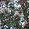 桜のピークは来週か【居酒屋】企久太、海月をハシゴ