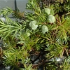 Juniperus taxifolia var. lutchuensis