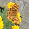 豹柄模様のやや珍しい蝶ミドリヒョウモン 身近なツマグロヒョウモンとの違いとは?