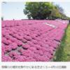 相模川の堤防を鮮やかに彩る芝ざくら 今年で見納めか?