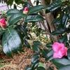 もう一種類のツバキが咲きました.友人はワビスケだっていいますが--ツバキにこんなに沢山の種類があるなんて!