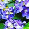 紫陽花の季節 #1