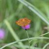 6/29/2018・梅雨空のもと、草原を彩る蝶たちを撮影しました
