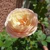 「フリュイ」の開花