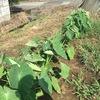 サトイモに土寄せ、おいしそうなナスは収穫