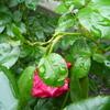 花弁は雨に強いのですが…「リパブリック・ドゥ・モンマルトル」の弱点?