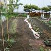 苗の定植(インゲン、枝豆など)