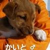 保護子犬 かいと・ふじと・よしとの飼い主さんを募集しています