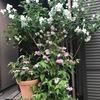"""バイカウツギ  今,真っ盛りの美しい白い花.英語では,""""mock orange"""" とありますが,mock orangeはもともと""""オレンジと似た花を咲かせる木""""の意味.近縁種は欧米でも人気のよう.英語の別称syringaは,ギリシャ語「管」に由来する言葉.日本では「空木」=古代ギリシャ「管」:同じ着眼点からの命名! +我が家の花々"""