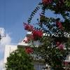 お江戸漫画タイトルは「散れば咲き散れば咲きして百日紅」から