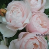 バラの季節を想う