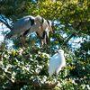 巣のすぐ側にとまった小鷺を睨め付ける青鷺夫婦