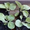 秋冬野菜を育苗中② アレッタ2とミニキャベツ