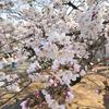 新宿御苑の桜たち