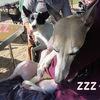 Arca dog 運動会2012<運動会&BB編>