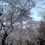 桜が一斉に咲き、一斉に散るのは「クローン」だから!江戸時代に誕生した驚きの「桜クローン技術」とは?