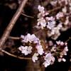 日比谷の夜桜 03/20