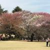 新宿御苑 2017年4月 桜満開 東京都新宿区