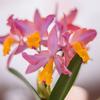 春を告げる洋蘭の花:春の蘭展