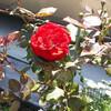 バラの開花続々