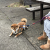 柴犬と戦。
