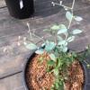 ブルーベリーの花咲いちゃいましたの巻