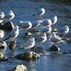 初日を浴びる鴨川の鳥たち
