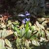 昨年水耕栽培したヒヤシンスが咲いていた