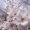 桜の開花予想が発表されましたね。
