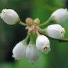 今日の誕生花「ブルーベリー」実はシャーベットに、清涼感抜群!