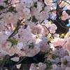 アッ八重桜だ。