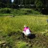 同時進行の稲刈りってはじめてでした