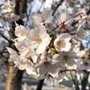 新元号の発表直前に咲いた桜に思うこと。