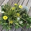 レモンイエローのジニアに魅せられてペンタスとペニセダムを合わせて寄せ植えを作りました♡