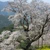 仁淀川町ひょうたん桜