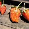 2017いちご収穫数などのまとめ、まだら模様の苺は味がしない、萎びた苺は甘い?