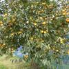 【桃栗3年柿8年】我が家の柿の木、柿は栄養たっぷりですね。