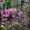 「佐久の季節便り」、「ソメイヨシノ」が散り始め、「ツツジ(躑躅)」の季節に…。