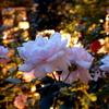 三菱一号館庭園のバラをルミックスで夜に撮影!!