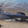 【地震】沖縄本島北西沖M4.5~5日前のクジラ打ち上げは前兆か?→仙台市でイルカに続いてクマ出没も