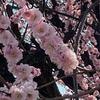 東京都農林総合試験センターの寒桜。
