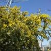 ミモザの花