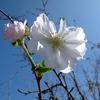 9月の桜^^